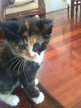Half ragdoll kitten Earlwood Canterbury Area Preview