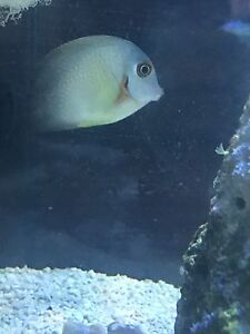 Mimic tang for sale