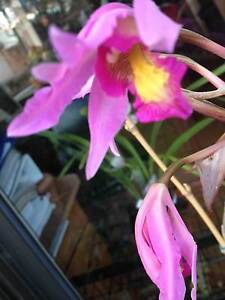Orchid: Schomburgkia superbiens for sale Reservoir Darebin Area Preview