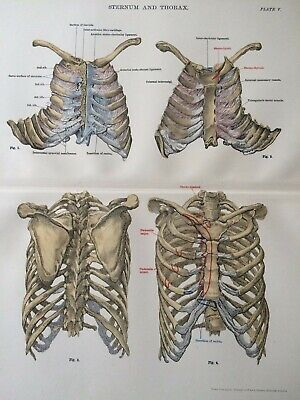 1920 Vintage Anatomy Print Sternum Thorax Medical Decor Bones Skeleton
