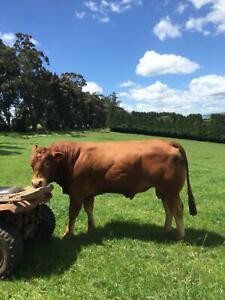 Limousin heifers and bulls