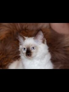 PEDIGREE RAGDOLL KITTENS 1 MALE LEFT Ferntree Gully Knox Area Preview