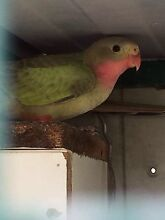 YOUNG PRINCESS PARROT Seabrook Hobsons Bay Area Preview
