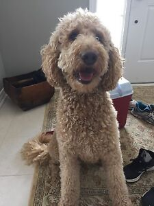 Goldendoodle looking for boy friend