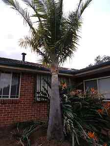 FREE PALM TREE - YOU REMOVE - COLYTON NSW Colyton Penrith Area Preview