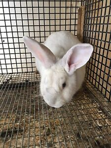 New Zealand white female rabbit for sale