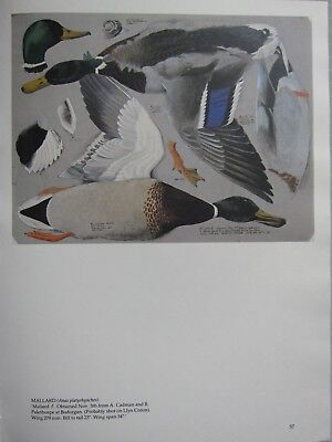 BEAUTIFUL TUNNICLIFFE BIRD PRINT ~ MALLARD DUCK MALE