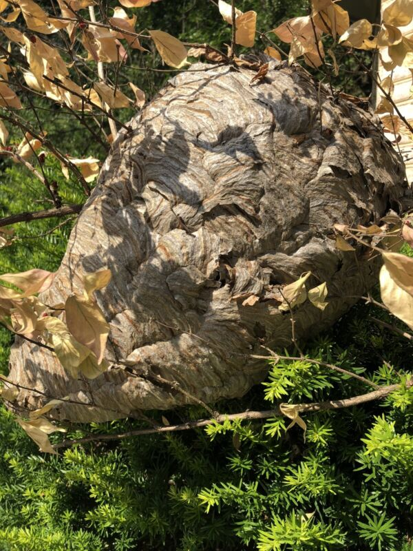 """Huge Paper Wasp Nest 39"""" Circumference 16"""" Long Excellent Condition Hornet Nest"""