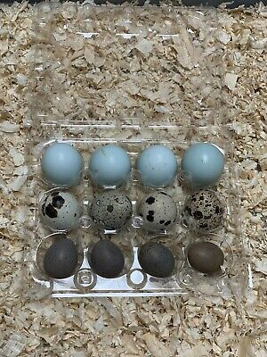 Blue Celadon Red Coturnix And Buttons Quail Hatching Eggs Certifiedfree Gift