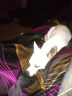 Wanted jack russell x chiawawa  Wanneroo Wanneroo Area Preview
