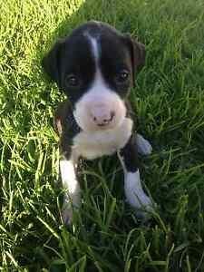 American Staffy X English Staffy X Puppies Elizabeth East Playford Area Preview