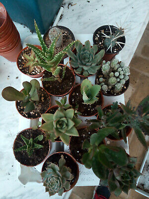 Lot of 24 Succulents and Cactus Plants Assorted Collection Plants New Weekly