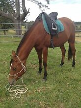 3yr old filly Bootawa Greater Taree Area Preview