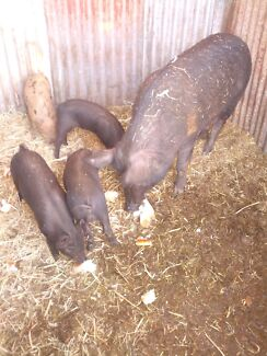 Piglets for sale. Rosewood Ipswich City Preview