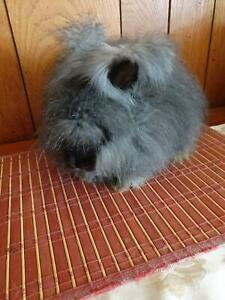 English Angora Rabbit 💞Doe