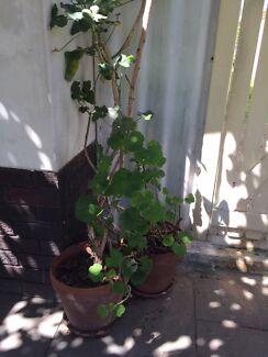 Terra-cotta Pot with Geranium