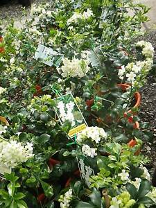 Murraya Paniculata grower direct perth shrub tree Darch Wanneroo Area Preview