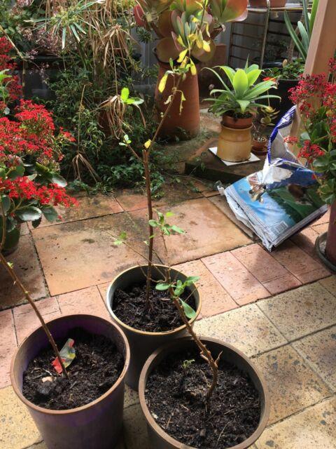 Healthy Goji Berry Seedlings Only 4 Each Plants Gumtree