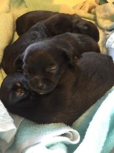Male Chihuahua puppies!!  with FULL PUPPY PACKAGE!