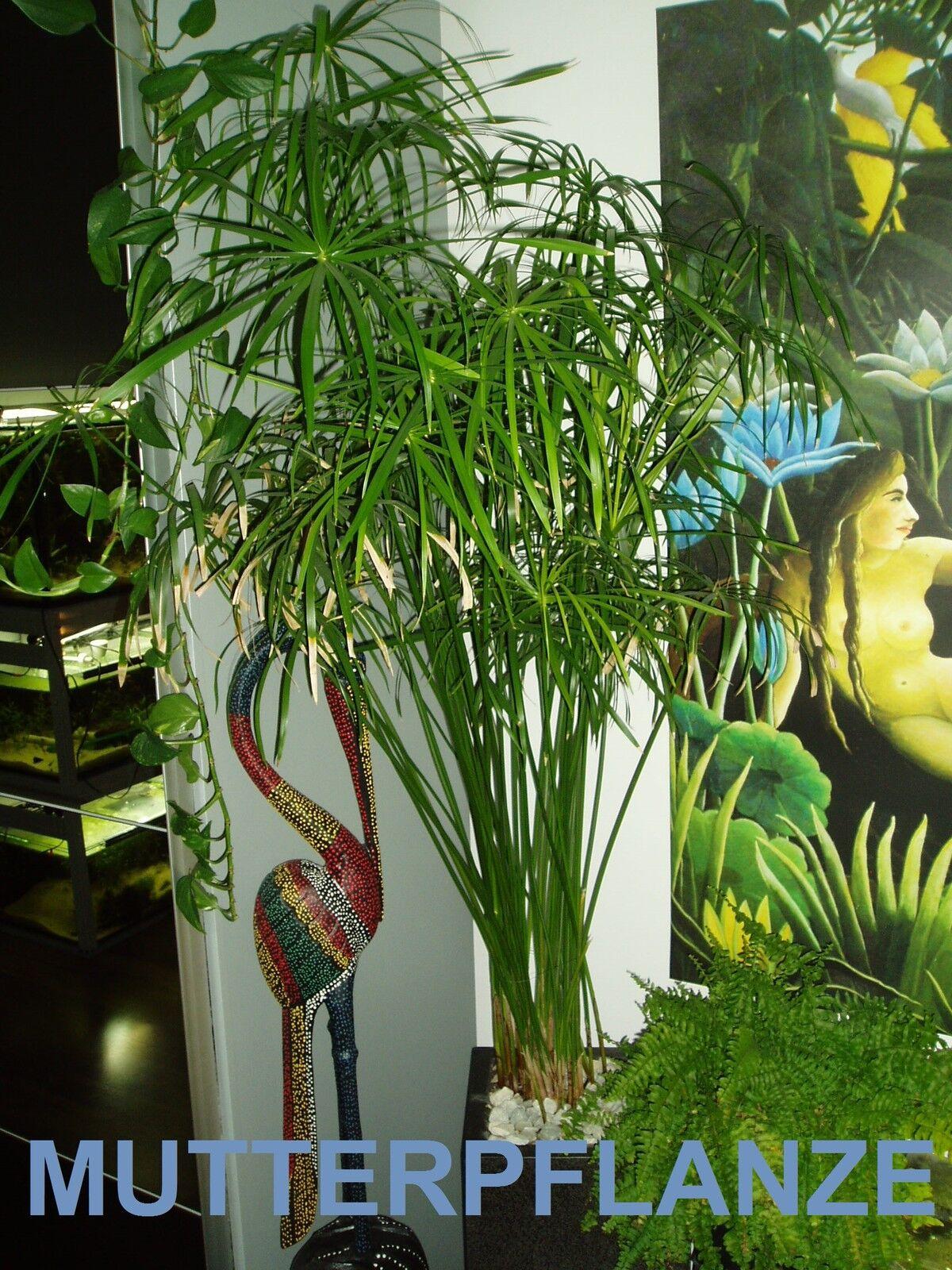 wasserpalme zyperngras papyrus cyperus alternifolius. Black Bedroom Furniture Sets. Home Design Ideas