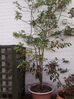 Lemon plant for sale