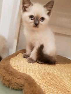 Very Cute n Tiny Ragdoll kitten