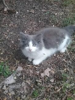 Kitty for sale! Female $200 Logan Central Logan Area Preview