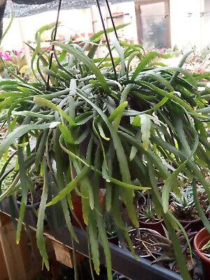Lepismium Bolivianum Plant Pendant Gemstone 25 CMS Plant Full With Root