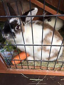 Rabbits Fawkner Moreland Area Preview