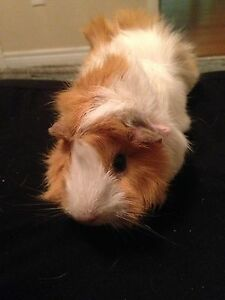 Looking for free GuineaPig to come to a good home !
