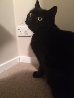 Shadow Domestic Short Hair Silverdale Wollondilly Area Preview