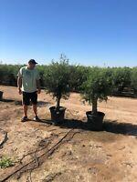 Olea Europaea Picual (Olivenbaum) ab  30/40cm Stammumfang Nordrhein-Westfalen - Recklinghausen Vorschau