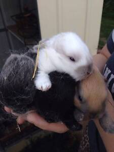 Pure mini lop bunnies ready Christmas eve Altona Meadows Hobsons Bay Area Preview