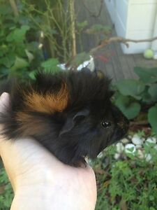 Beautiful Baby Guinea Pigs East Gosford Gosford Area Preview