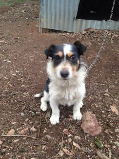 Jack  Russell  free