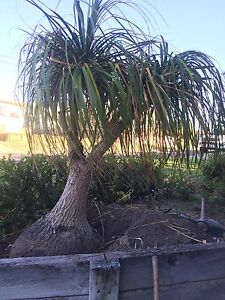 Ponytail tree Swansea Heads Lake Macquarie Area Preview