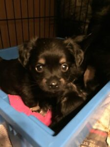 Chihuahua puppies and some adult dogs prices vary....