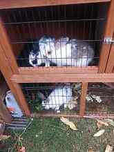 Rabbits for sale and hutch Adelaide CBD Adelaide City Preview