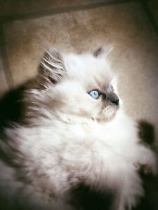 SOLD wait list started for next litter :) Blue cream ragdoll