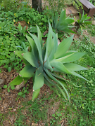 Agaves plants Kallangur Pine Rivers Area Preview