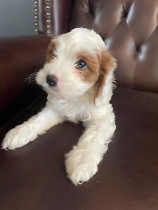 First Generation Toy Cavoodle Puppies female and male