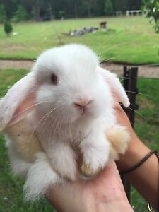 BABY RABBITS LOP EARED Couridjah Wollondilly Area Preview