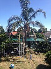 Palm tree 4 sale Hallam Casey Area Preview