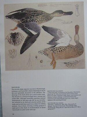 BEAUTIFUL TUNNICLIFFE BIRD PRINT ~ FEMALE SHOVELER