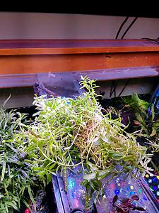 Aquarium Plant Staurogyne Repens Belfield Canterbury Area Preview