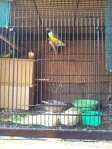21 Finches for Sale - All must go together! Epping Ryde Area Preview