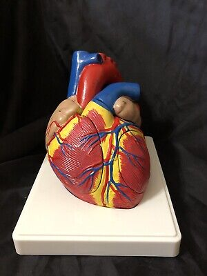 Walter Products B10438 Heart Anatomical Model 1.5x Life Size 4-parts