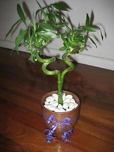 lucky bamboo in pot Terrigal Gosford Area Preview