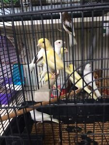 Canaries for sale! Only $35 each