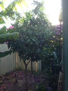 Fruiting grapefruit tree  ,, mature Hamersley Stirling Area Preview